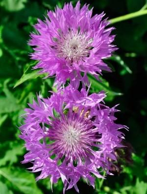 Centaurea 'John Coutts'