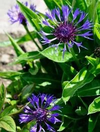Mpp_centaurea-montana3