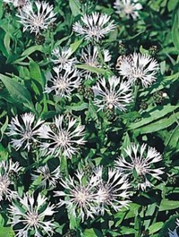 Mpp_centaurea-montana-alba2
