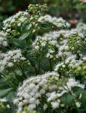 Ageratina altissima 'Braunlaub'