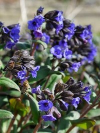 Mpp_pulmonaria-blue-ensign14