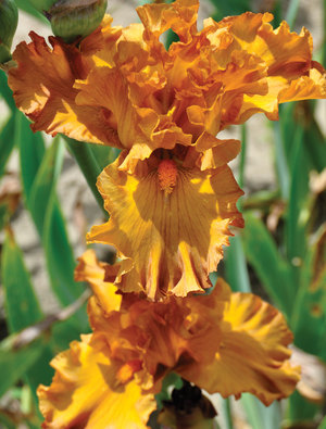Iris 'Golden Panther'