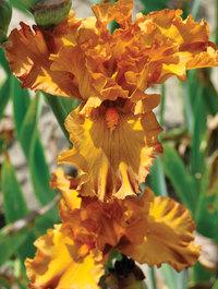 Iris-golden-panther