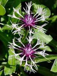 Mpp_centaurea-purple-heart6
