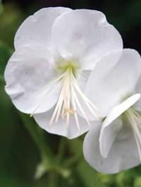 Mpp_geranium-white-ness1