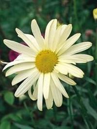 Leucanthemum x superbum 'Sonnenchein'
