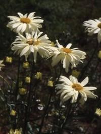 Mpp_leucanthemum-sonnens