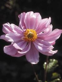 Anemone x hybrida 'Konigin Charlotte'