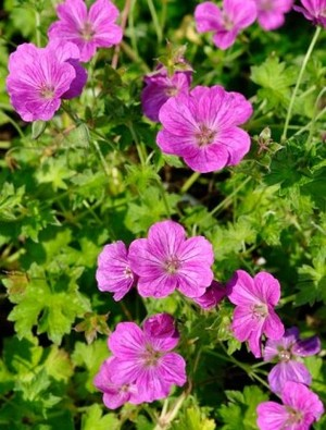 Geranium riversleaianum 'Russell Prichard'