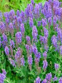 Salvia x sylvestris 'Blauhugel'