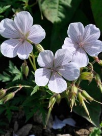 Mpp_geranium-kashmir-white1