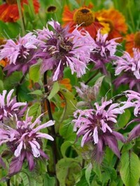 Mpp_monarda-beauty-of-cobham
