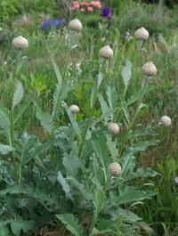 Mpp_centaurea-pulchra-major-buds