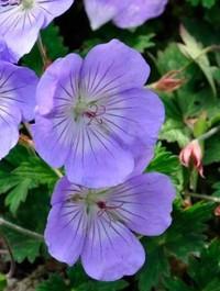 Mpp_geranium-azure-blue2
