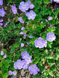 Mpp_geranium-azure-blue3