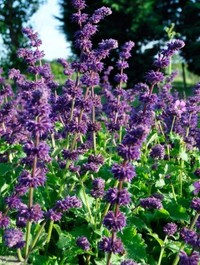 Mpp_salvia-purple-rain