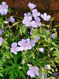 Mpp_geranium-blue-cloud