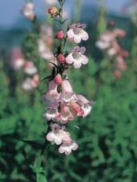 Mpp_penstemon-apple-blossom