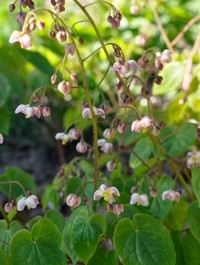 Mpp_epimedium-pubigerum