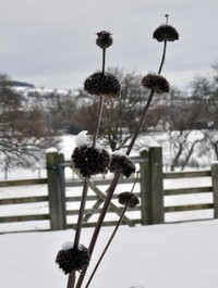 Mpp_phlomis-russelliana-in-winter