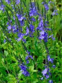 Mpp_veronica-shirley-blue1