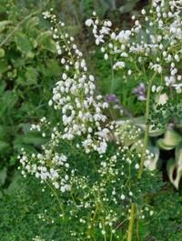 Mpp_thalictrum-aquifolium-album1