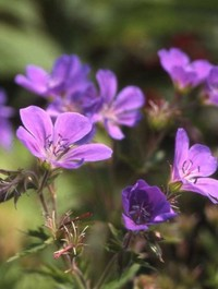 Mpp_geranium-birch-lilac