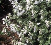 Nepeta racemosa 'Snowflake'