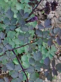 Mpp_thalictrum-rochebrunianum