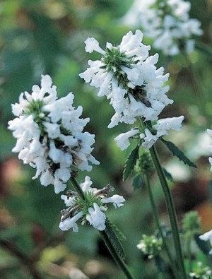 Stachys discolor