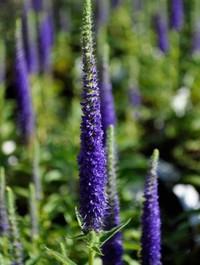 Mpp_veronica-spicata-ulster-blue