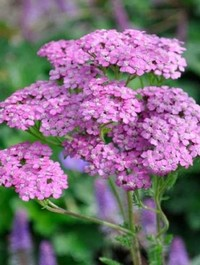 Mpp_achillea-lilac-beauty