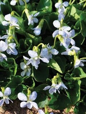 Viola socoria 'Freckles'