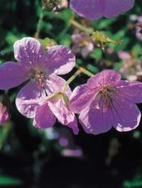 Mpp_geranium-clark-kashmir-pink