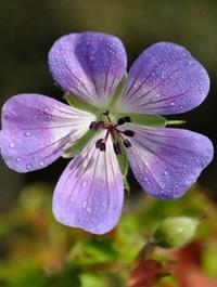 Geranium 'Sweet Heidy'