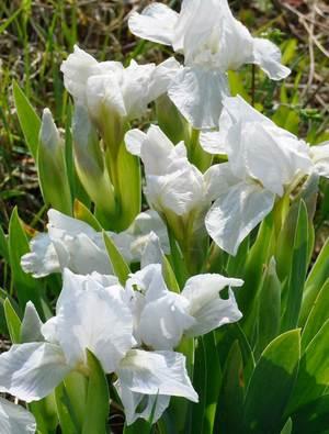 Iris 'Lilli-white'