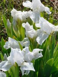 Iris-lilli-white