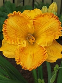 Mpp_hemerocallis-orange-nassau