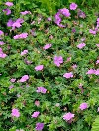 Mpp_geranium-blushing-turtle1