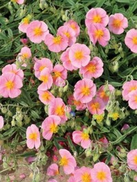 Mpp_helianthemum-pink