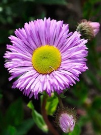 Mpp_erigeron-pink-jewel1