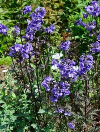 Mpp_polemonium-bressingham-purple2