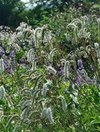 Mpp_sanguisorba-tenuifolia-alba3