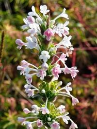 Mpp_morina-longifolia