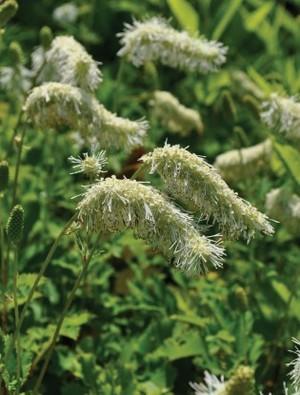 Sanguisorba albiflora
