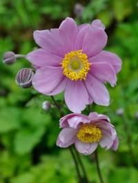 Mpp_anemone-praecox