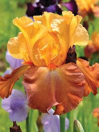 Iris 'Lovely Senorita'