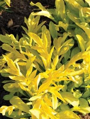 Valeriana phu 'Aurea'
