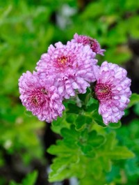 Mpp_chrysanthemum-mei-kyo1