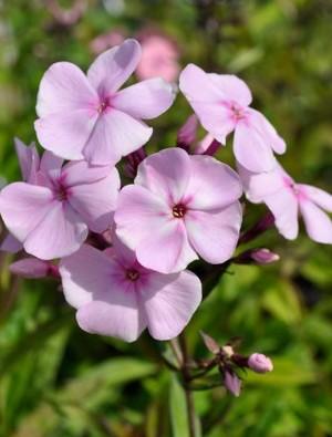 Phlox paniculata 'Sweet Summer Favourite'